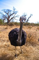 Senegal _ The Small Coast _ The Bandia reservation _ Ostrich