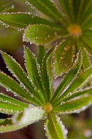 Close up of lupin leaves with dew drops