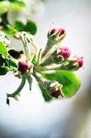 Apple blossom, variety ´Jonathan´