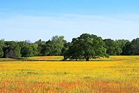 Live Oak and Wildflowers - Austin, County, Texas  Butterfly daisies Amblyolepis setigera blanket a large field occupied by a majestic live oak