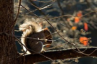 A Grey Squirrel huddles on a branch in the sun, eating a nut.
