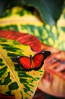 A colorful butterfly rests on a colorful leaf.