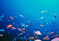 Large loose school of Splendid Perch Callanthias australis and Pink Maomao Caprodon longimanus in clear blue water above offshore reef.