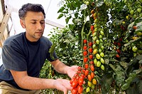 Farmer harvesting ripe red tomatoes Datterino in greenhouse in Sicily