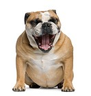 Bulldog Yawning, front view, sitting, isolated on white