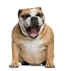 Bulldog Yawning, front view, sitting, isolated on white