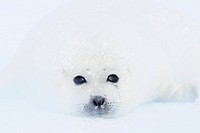 Harp Seal (Phoca groenlandica), pup, Magdalen Islands, Qu&#233;bec, Canada