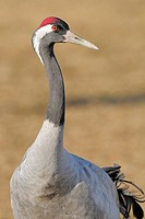 Common Crane (Grus grus), Lake Hornborga, Sweden