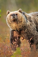 European Brown Bear (Ursus arctos), female, Finland
