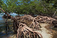 Mangroves growing in the waters of Cayo Jutias, Cuba.