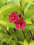 Weigela Briant Rubidor. Close_up of carmine_red flowers.