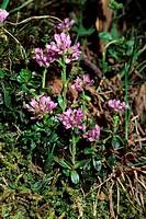 Thlaspi stylosum flowering in Monti Simbruini Regional Park, Italy.