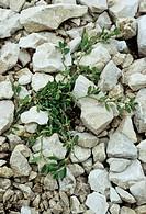 Polygonum arenastrum growing in rocks.