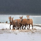 mountain sheep family, nordegg, alberta, canada