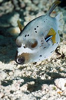 Blackspotted puffer Arothron nigropunctatus with a Bluestreak cleaner wrasse Labroides dimidiatus hiding in its gill cover. The blackspotter puffer is...