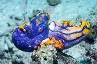 Ink_spot sea squirts Polycarpa aurata on a reef. Sea squirts, or tunicates, are sessile barrel_shaped animals that feed by filtering plankton from the...