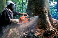 Congo deforestation. Logger using a chainsaw to cut down a mature tree in a tropical rainforest in the Congo Basin. When the tree falls, it will damag...