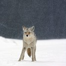 coyote canis latrans in heavy snowfall in elk island national park, alberta, canada