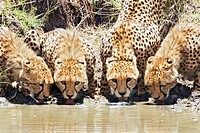 Cheetahs Acinonyx jubatus drinking at a watering hole. Photographed in Kenya, in September.
