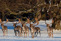 Fallow deer stags Cervus dama / Dama dama in forest in the snow in winter, Denmark