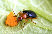 Carabid beetle Lebia grandis feeding on Colorado potato beetle Leptinotarsa decimlineata eggs. This beetle is used as a biological control against the...