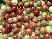 Harvested gooseberries Ribes grossularia. Photographed in August.