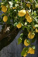 LEMON TREE AND LEMONS, EVORA, ALENTEJO, PORTUGAL