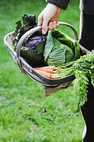 Harvested organic vegetables. Gardener carrying a basket containing green and purple cabbages Brassica oleracea ´January King´ and a bunch of carrots ...