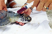Turtle blood sampling. Syringe being used to take a blood sample from a sick green turtle Chelonia mydas. The blood will be analysed to try and find o...