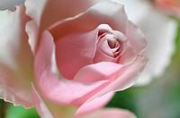 Rose, Rosa, Rosenblüte