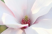 Single open magnolia greets the day  Pale pink petals open to the sun  Center detail from side angle