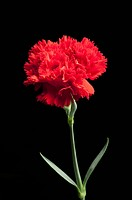 Red carnation on black background, close_up
