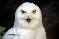 Snowy owl, Nyctea scandiaca, portrait