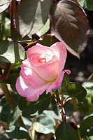 pink rose among rose leaves, dappled sunlight, Los Angeles, CA