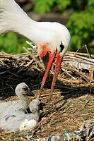White Stork Ciconia ciconia Order Ciconiiformes Family Ciconiidae.