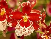 Orchid Cambria hybr