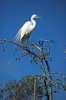 Great Egret Casmerodius albus - Perched - Louisiana - USA - Distinguished from most other white herons by large size  L39' W51' - Common in marshes-ma...