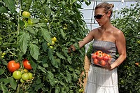 WOMAN PICKING RED TOMATOES, THE GARDENS OF IMBERMAIS, EURE_ET_LOIR 28, FRANCE