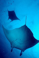 Two giant manta ray (manta birostris), Maldives.