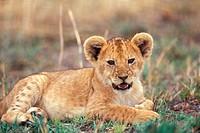 Africa, lion cub