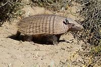 Hairy armadillo CHAETOPHRACTUS VILLOSUS Order: Cingulata Family: Dasypodidae.