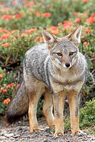 Argentine grey fox  Dusicyon griseus  family : canidae  order :carnivora.