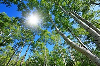 Japanese White Birch forest, Low angle view, Nagano Prefecture, Honshu, Japan