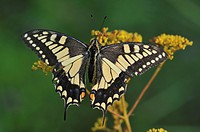Swallowtail Butterfly on flower, Chiba Prefecture, Honshu, Japan