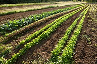 Field of vegetable crops