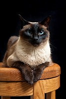 Full grown adult Seal Point Siamese cat sitting on wooden stool