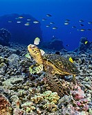 green sea turtle, Chelonia mydas, being cleaned by convict tang, Acanthurus triostegus, and gold-ring surgeonfish, Ctenochaetus strigosus, Kona, Big I...