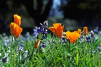 SKY LUPINE Lupinus nanus and CALIFORNIA POPPY PLANTS Eschscholzia californica _ CALIFORNIA