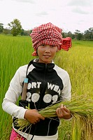 CAMBODIA. Hot Nikan 28 harvesting rice, Ban Bung village, Stung Treng district