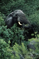 An old bull ELEPHANT Loxodanta Africana can live to be 70 years old and weigh as much as 13,200 Lb _ LAKE MANYARA NP